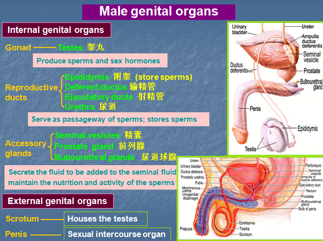 Anatomy of female genitals