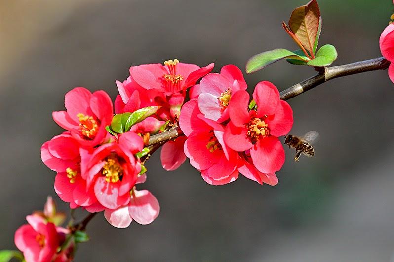 Fotos - Pflanzen - Blüten - Frühling - Blütenfotos - Zierquitte