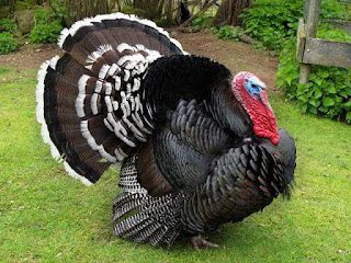 Ayam Kalkun Perunggu
