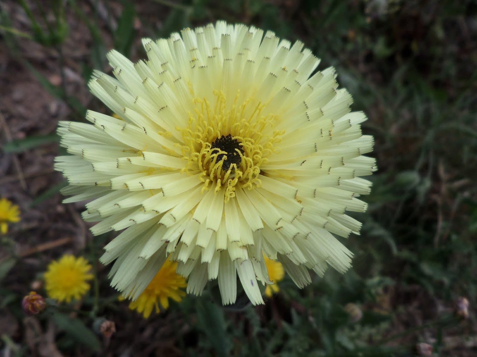 Flors grogues
