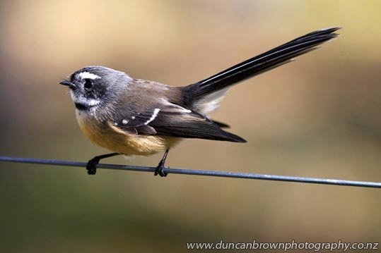 A Rhipidura fuliginosa, one of my favourite birds, aka New Zealand fantail, or piwakawaka photograph