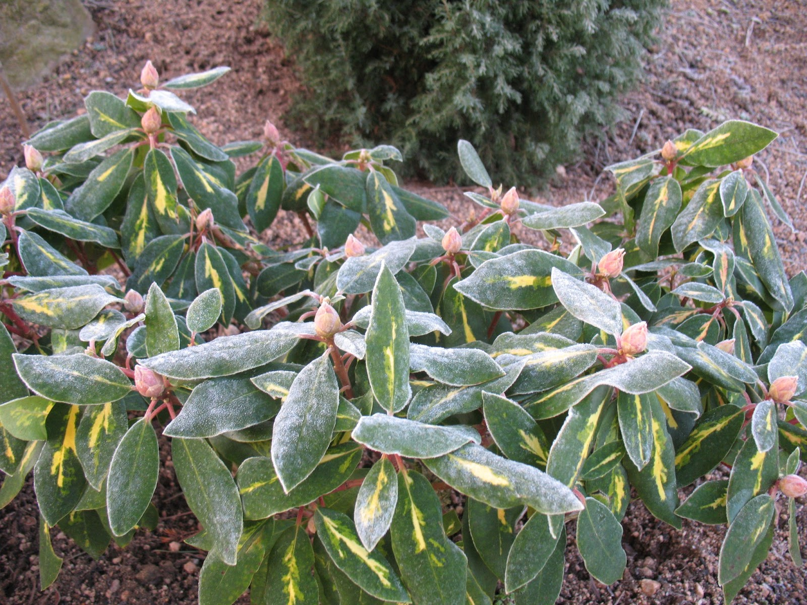 Roses du jardin ch neland le jardin en hiver - Jardin de chen ...