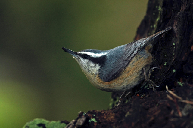 Red-breasted Nuthatch on Douglas-fir tree