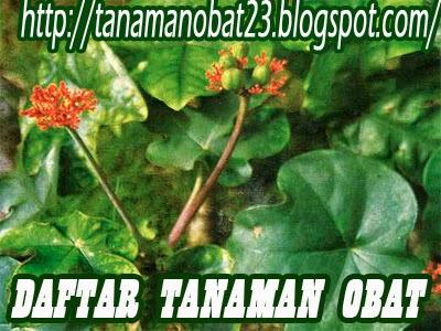Tanaman Obat Jarak Bali  (Jatropha podagrica Hook.)