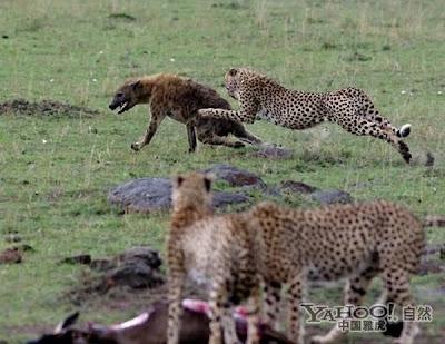 guepardo vs hiena