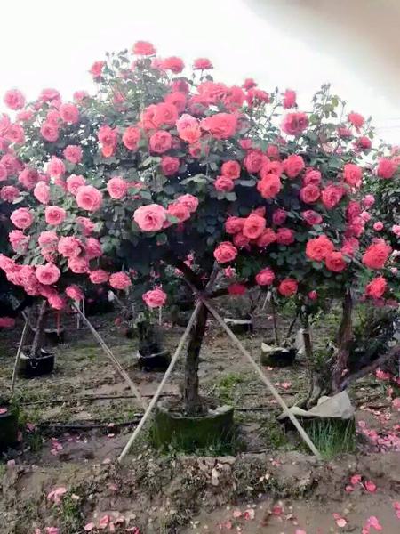 Nhiều người đang săn mua loại hoa Tree rose mặc dù giá của chúng lên đến trên 50 triệu đồng/cây
