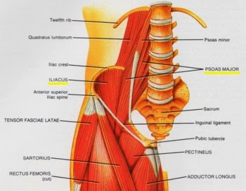 how to find the psoas muscle