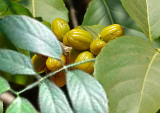 Saptarangi plant with yellow fruit
