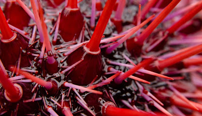 Red Sea Urchins, British Columbia