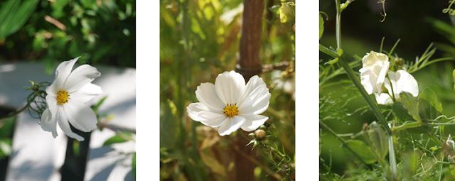 Hvide sommerblomster i haven