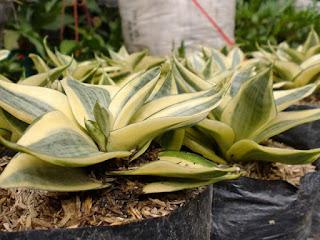 Jual sansevieria tapis kodok | pedang-pedangan | supplier tanaman indoor