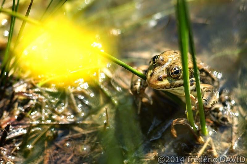 nature amphibien animaux grenouilles marais Episy Seine-et-Marne