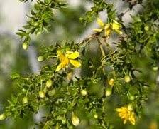 chaparral dangerous herbs