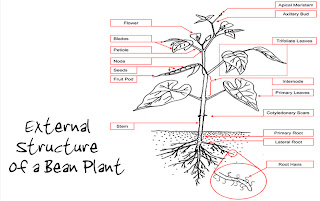 my baby plants: bean-structure and function  my baby plants - blogger