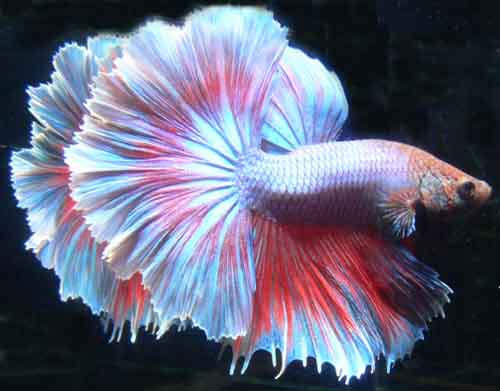 The beauty halfmoon betta for Betta fish petco