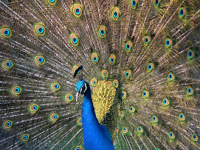 Beautiful Peacock imagesoflove