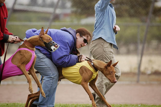 Pharaoh Hound Lure Coursing