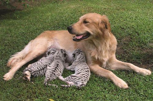 Anjing jaga anak harimau