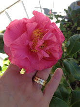 Blooming this month: Camellia