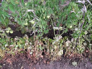 Кусты старой клубники разложил под помидоры