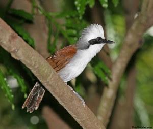 Habitata Dan Kebiasaan Burung Poksai Jambul Putih-Burung Poksai Jambul Putih Yang Sangat Gagah Dan Cukup Elegan Burunng Ini Berhabitat Asli Di Hutan. Dialam bebas, poksai jambul putih suka hidup bersama secara berkelompok, walaupun tidak dalam jumlah banyak. LIngkungan yang disukainya adalah hutan yang agak terbuka, penuh dengan semak-semak dan juga banyak di tumbuhi pohon banbu.   Pada saat berkembang biak, poksai jambul putih membuat sarangnya di pucuk-pucuk pohon dan terkadang di semaksemak. Sedali berkembang biak, telor yang dihasilkan bisa 3-6 butir. Telur yang dierami biasanya menetas semua atau jarang ada yang gagal Burung poksai jambul putih pada umumnya hidup dengan berkelompok kecil. Lingkungan yang disukai burung poksai jampul putih adalah hutan yang penuh dengan semak dan agak terbuka, dan terkadang hidup di tempat yang banyak dipenuhi oleh pohon bambu.