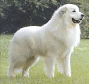 great pyrenees hybrid dogs pets animal wallpaper pyrenean mountain anjing