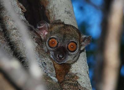 Foto Northern sportive lemurs