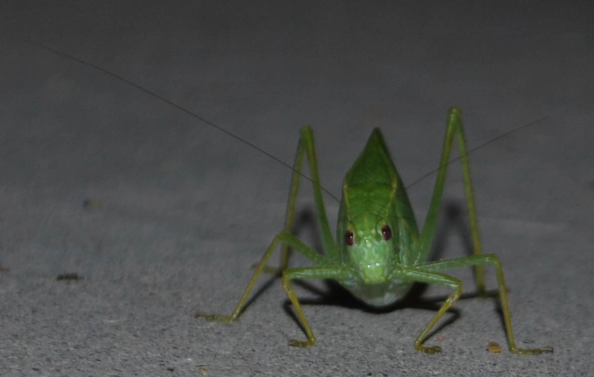 Green Bug With Wings That Look Like Leaves The