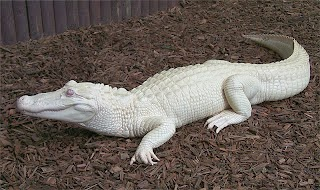 White Crocodile .