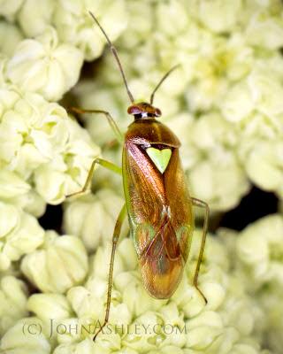Western Tarnished Plant Bug (Lygus lineolaris) (c) John Ashley