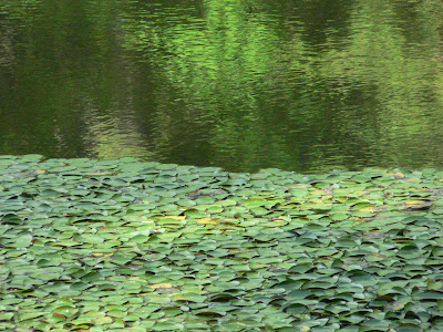 close up of green leaves on a calm, green tinted lake in the sun