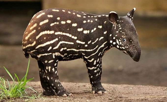 gambar anak tapir