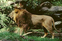 Asya Aslanı (Panthera leo persica)
