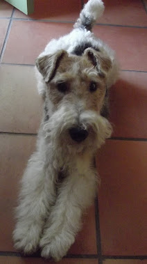 Darling ! ma petite chienne fox Terrier