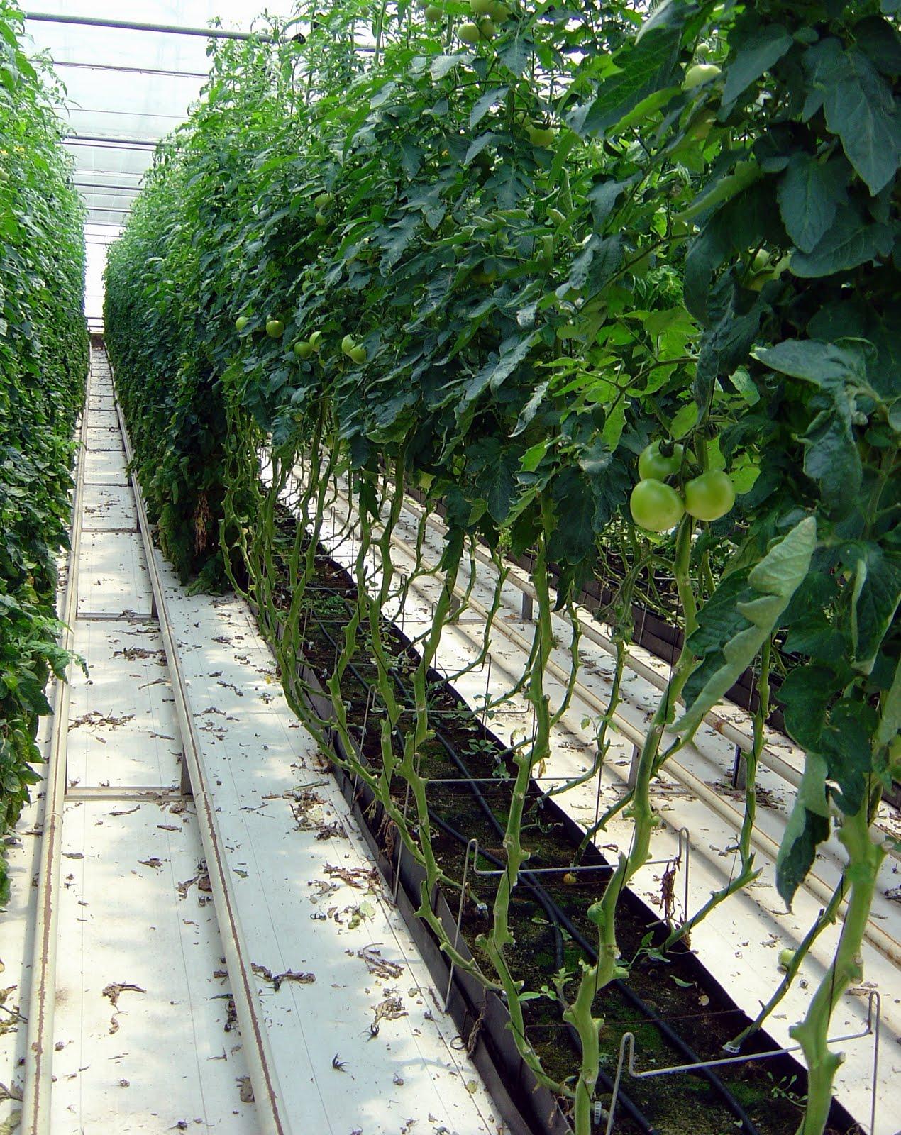 Cultivos hidropnicos cultivos hidropnicos with cultivos for Que son cultivos asociados