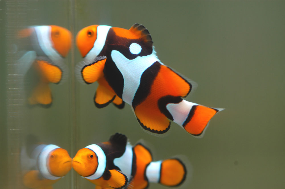 Clown fish the life of animals for Pictures of clown fish