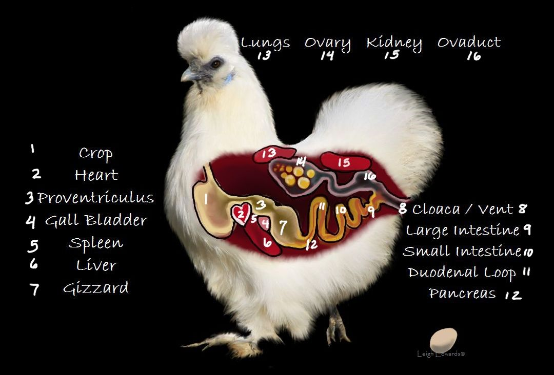 Natural Chicken Keeping: Chickens, Eggs, Fertilization, Reproduction ...