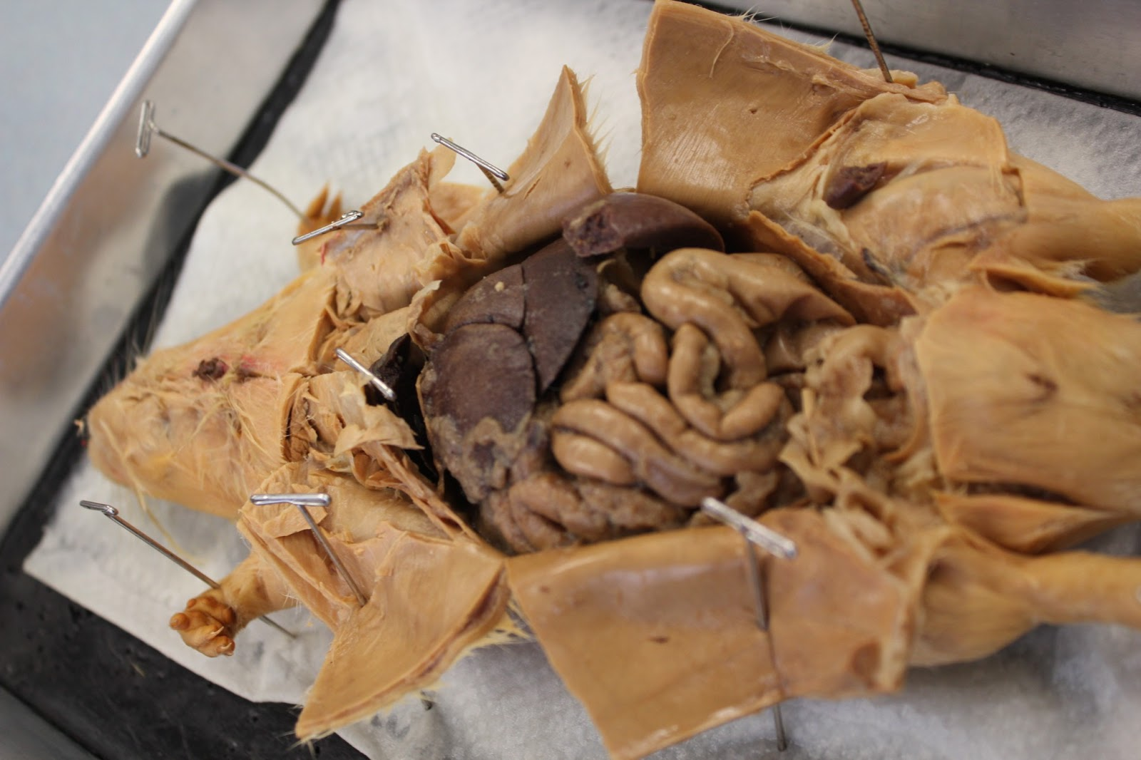 biology and stuff (bio 11 class): rat dissection, Cephalic Vein