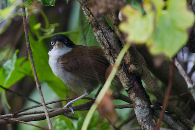 A photograph of a Black-fronted Babbler taken in Thalangama, Sri Lanka