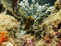 diving 4 islands koh muk seahorse