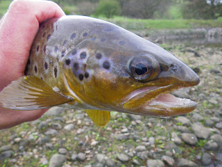A good Gouthwaite trout