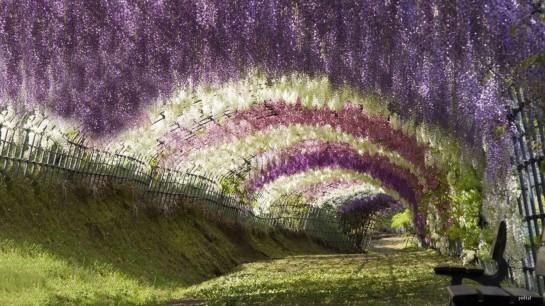 tunel de wisteria Glisinas flores kawachi fuji japon