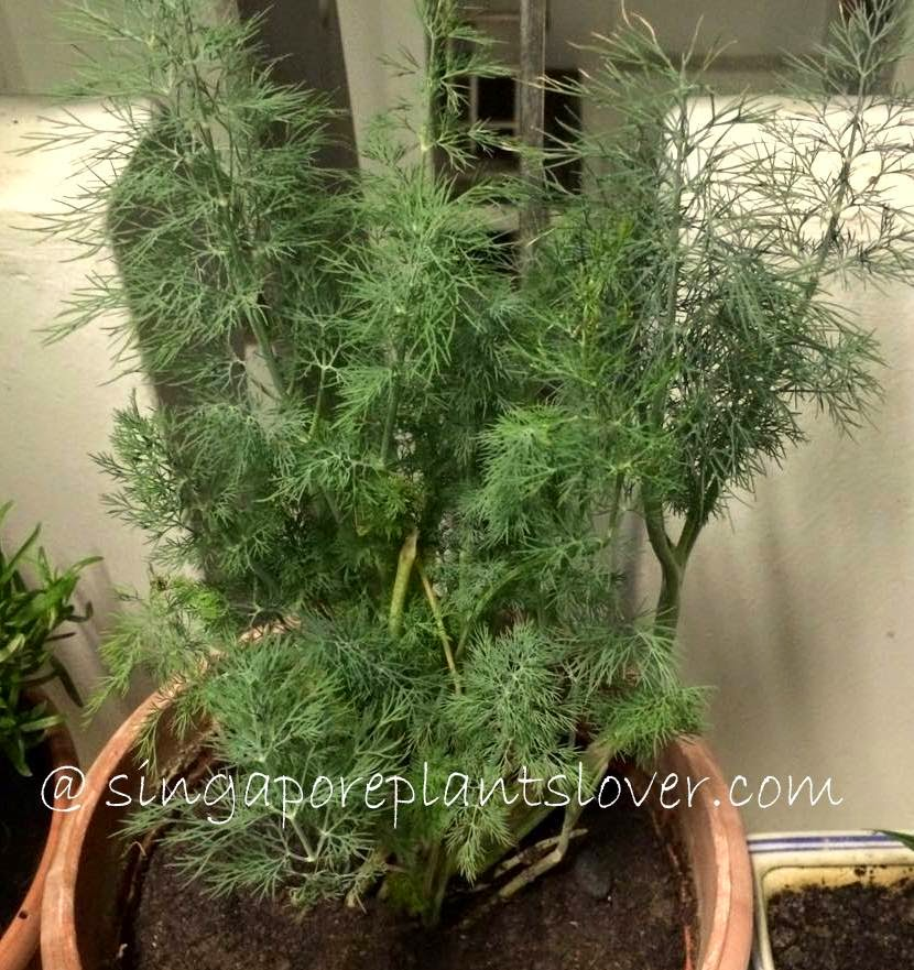Dill, Also Known As Dill Weed, This Is A Green Herb With Wiry, Thread Like  Leaves That Grow In Clusters. It Has A Strong, Distinctive Taste That Is  Like A ...