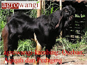 Kambing Qurban; Aqiqah dan Pedaging