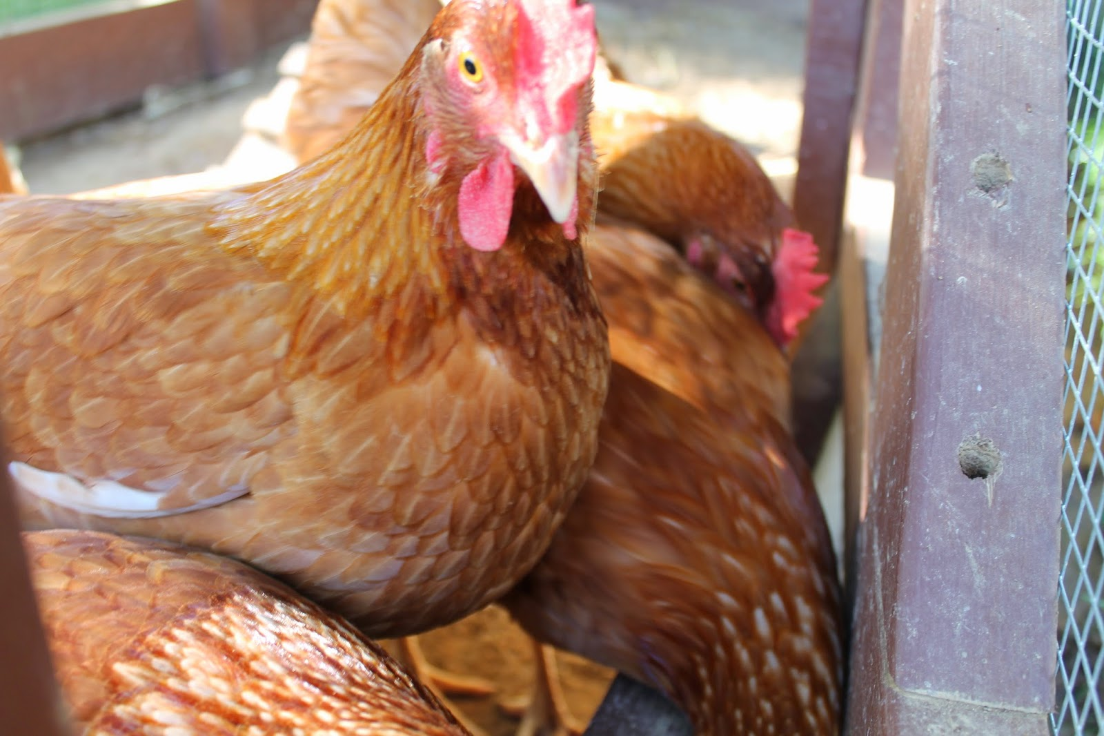 best practices and tips for raising chickens in a small backyard