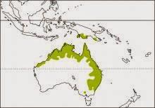Tortolita humeral, Geopelia humeralis