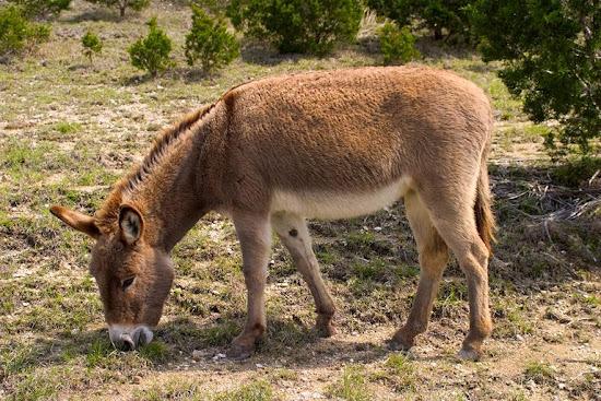 Que significa soñar con burro