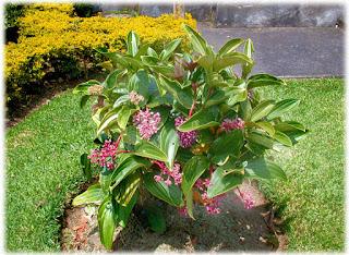 Tanaman Parijoto(medinilla speciosa)