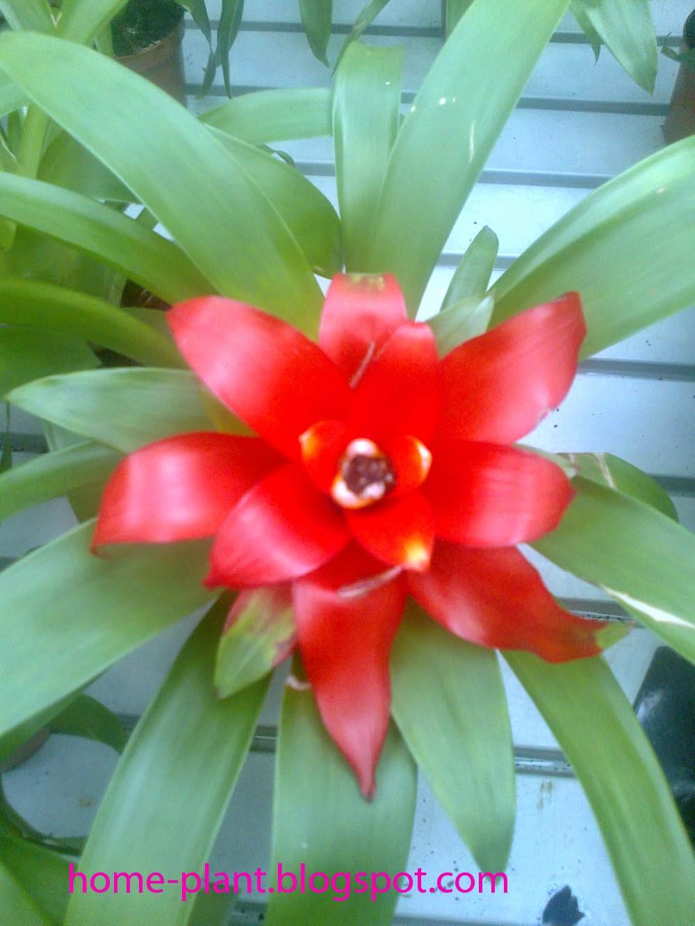 Что за цветок гузмания
