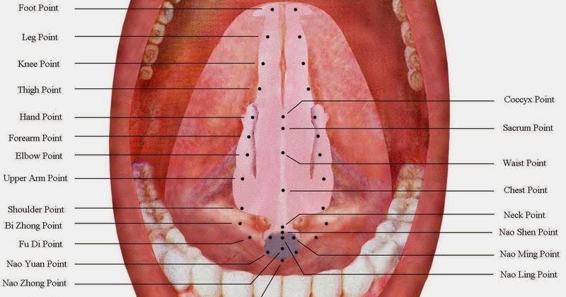 Human Underneath Tongue Anatomy Picsbud